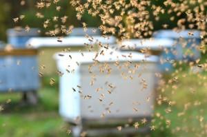 ruches peuplées